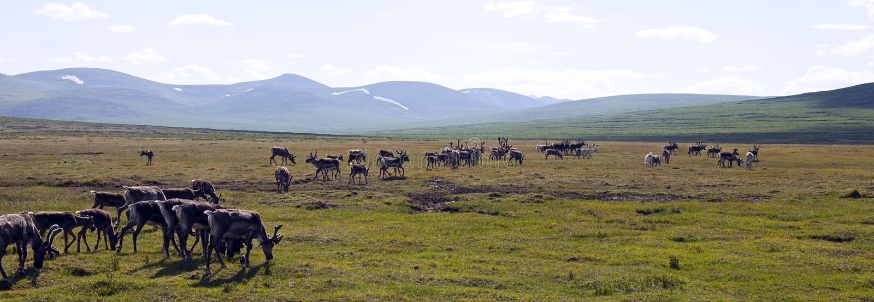 Renflocken som ställer av in för, betar i nordliga Mongoliet arkivbilder