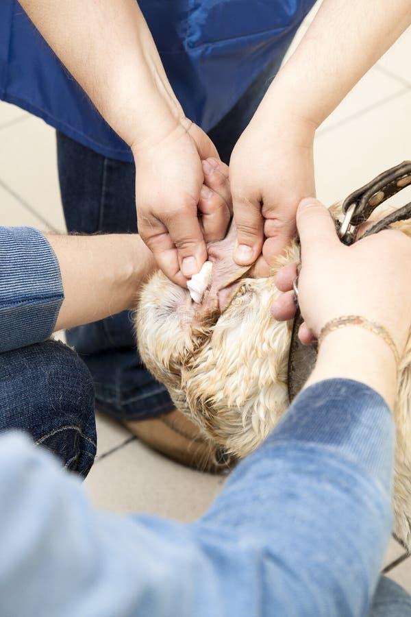 Rengöra för labradorhundöron royaltyfri foto