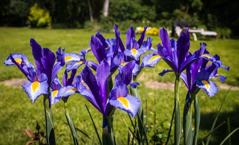 rengöringsduk för universal för mall för sida för iris för hälsning för bakgrundskortblomma fotografering för bildbyråer