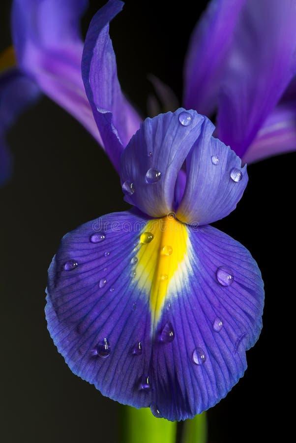 rengöringsduk för universal för mall för sida för iris för hälsning för bakgrundskortblomma royaltyfri fotografi