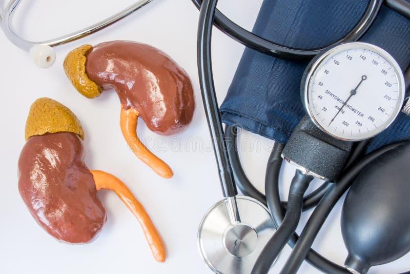 Reni e concetto di ipotensione o di livello Figure umane del rene vicino allo stetoscopio ed allo sfigmomanometro Ruolo ed impatt fotografia stock libera da diritti