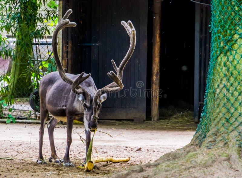 Renifer obdziera gałąź, popularnego zwierzęcego specie od Europa i Ameryka z ogromnymi poroże, Podatni zwierzęcy gatunki obrazy royalty free