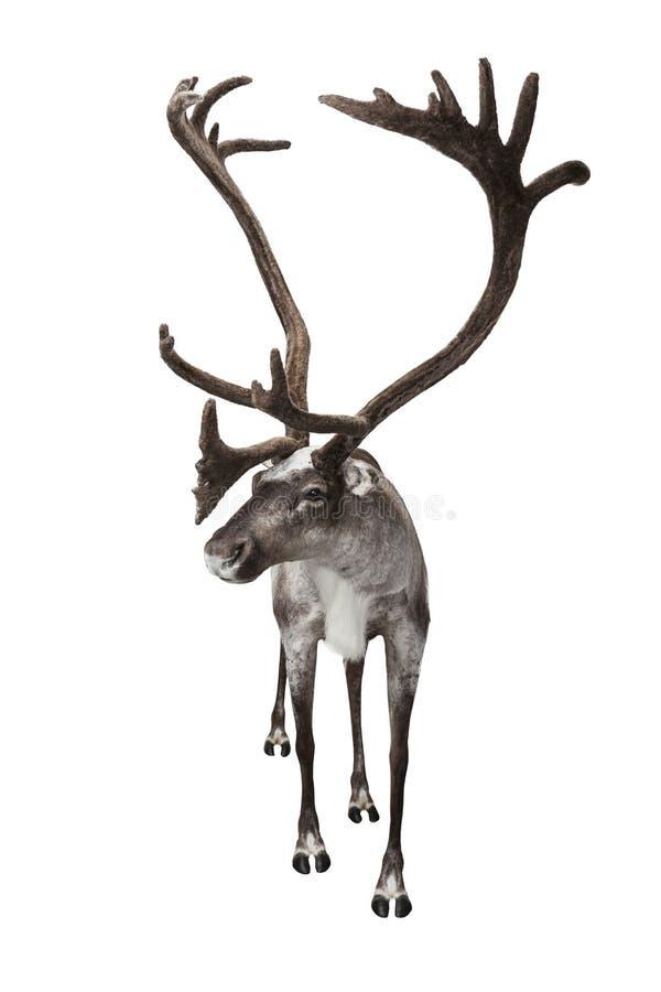 Renifer odizolowywający na bielu zdjęcia royalty free