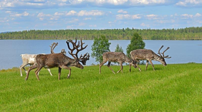 Renifer pasa na zielonej łące na brzeg północny jezioro lapland obrazy stock