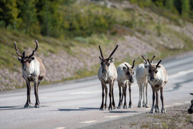 Renifer po stronie głównej drogi w północnej Szwecji, Arvidsjaur/Jokkmokk zdjęcia royalty free
