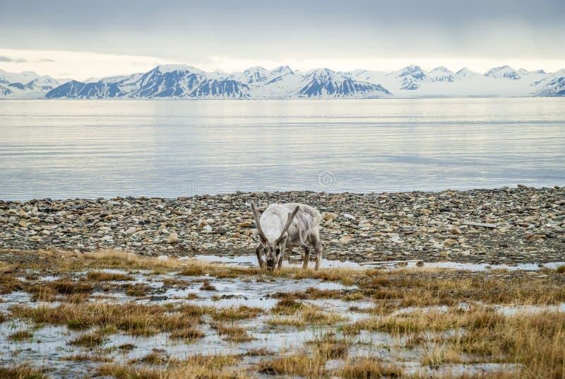 Renifer w arktycznym lecie zdjęcia royalty free
