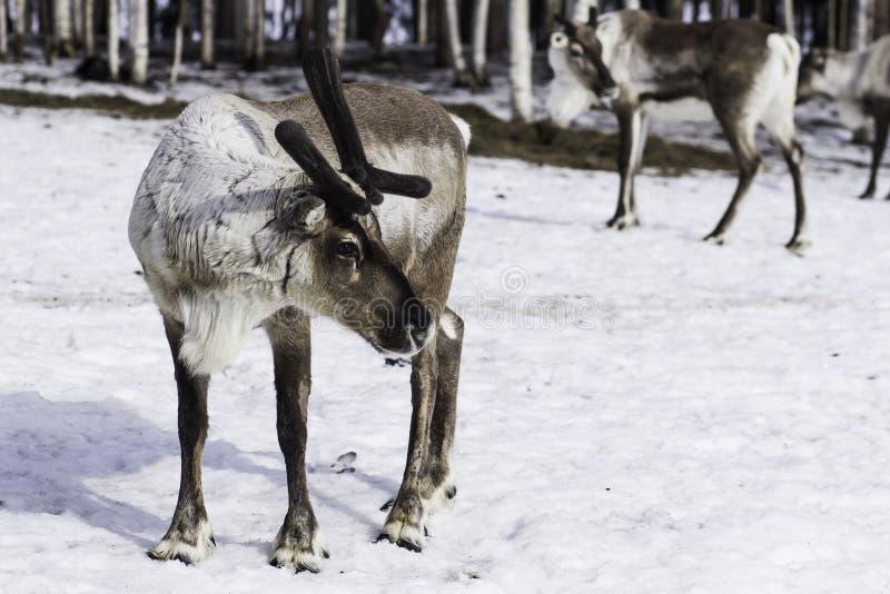 Renifer w Finlandia zdjęcie stock
