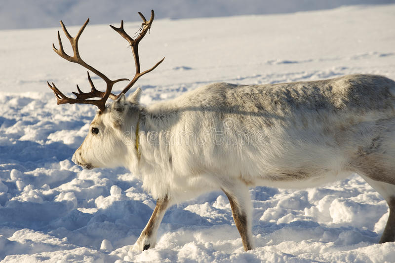 Renifer w naturalnym środowisku, Tromso region, Północny Norwegia fotografia royalty free