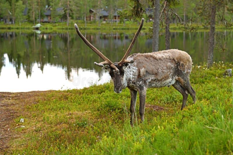 Reniferowa samiec na brzeg północny lasowy jezioro w Lapland na białej lato nocy obrazy royalty free
