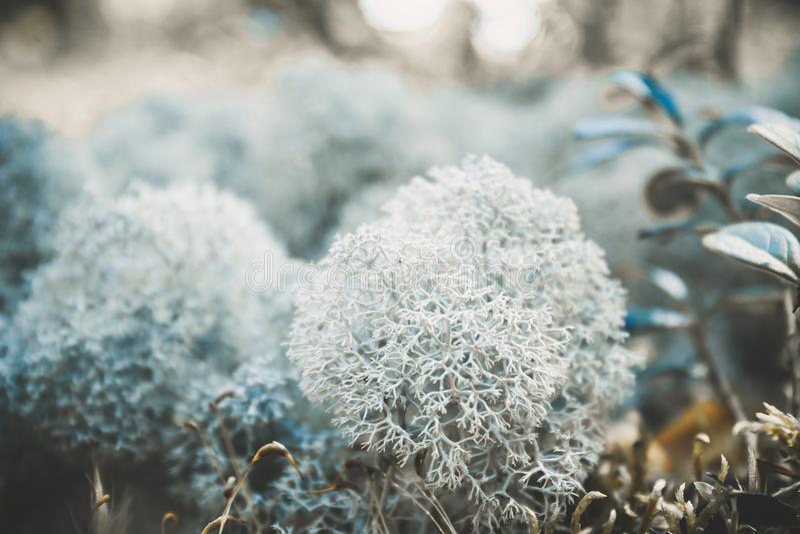 Reniferowego liszaju icelandic mech fotografujący w lasowej silnej przyrostowej tło plamie zdjęcia stock