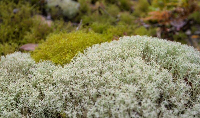 Reniferowy liszaj (Cladonia) zdjęcia stock