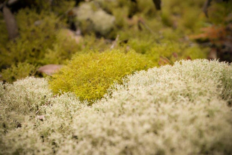 Reniferowy liszaj (Cladonia) obraz stock