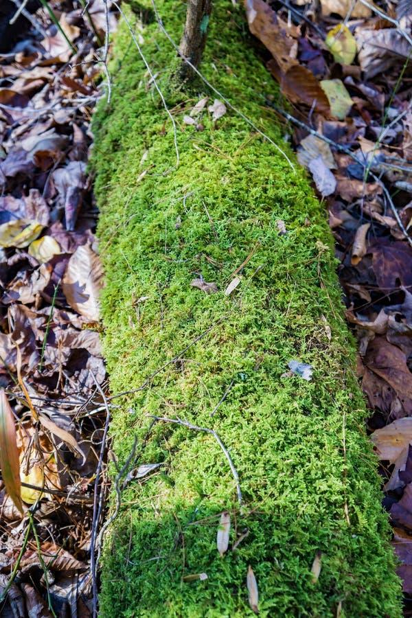 Reniferowy liszaj - Cladonia rangiferina obrazy stock