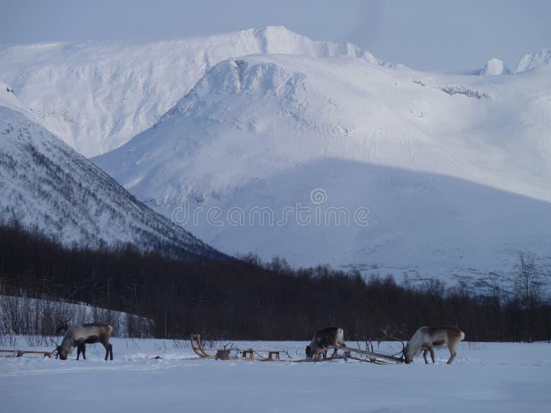 Reniferowy Norwegia śniegu krajobraz obraz royalty free