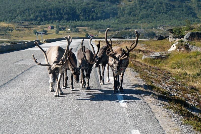 Reniferowy odprowadzenie droga blisko Lom Norwegia 2016 obraz royalty free