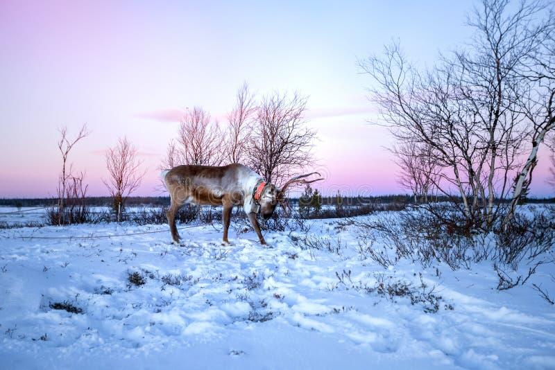 Reniferowy odprowadzenie na śniegu przy Lovozero, północ Rosja obrazy stock
