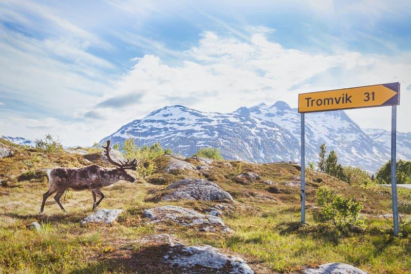 Reniferowy odprowadzenie w obszarze miejskim blisko drogi w Norwegia blisko Tromso zdjęcie stock