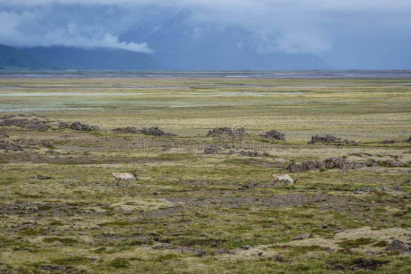 Renifery w Iceland zdjęcie stock