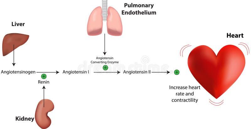 Renin Angiotensin Systeem vector illustratie