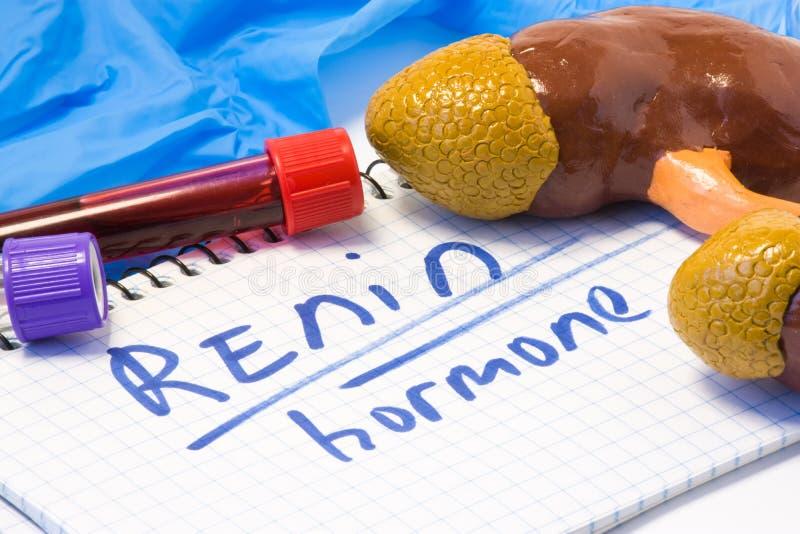 Renin hormoon of enzym die kenmerkende conceptenfoto meten, die slagaderlijke bloeddruk regelt Nieren, wat dit produceert stock foto