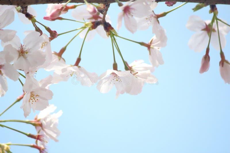 Renlighet av körsbärsröda blomningar royaltyfri fotografi