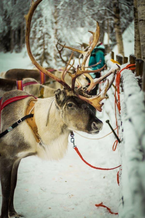 Renna in Lapponia, Finlandia fotografie stock libere da diritti