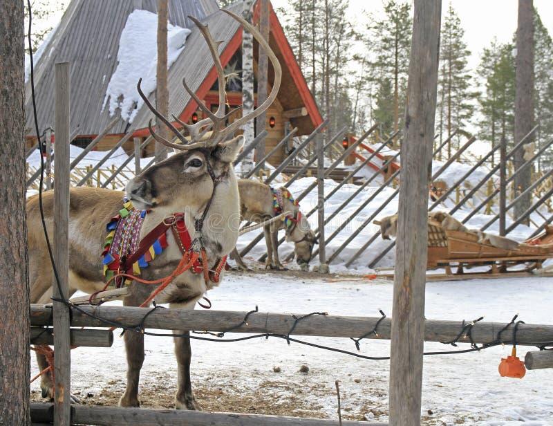 Renna nel villaggio di Santa Claus, Lapponia fotografia stock libera da diritti