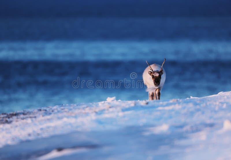 Renna polare sul mare congelato sulle Svalbard fotografia stock libera da diritti