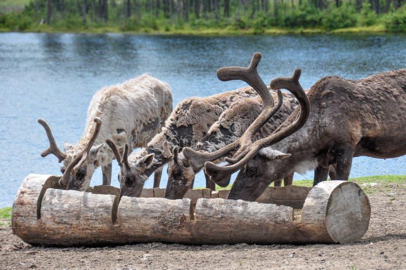 Renne allo zoo della st-Felicien, Quebec, Canada fotografia stock