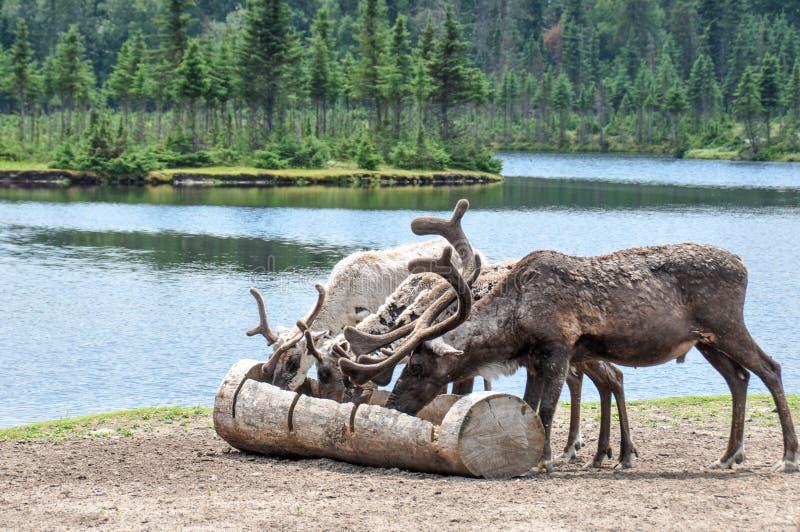 Renne allo zoo della st-Felicien, Quebec, Canada immagini stock libere da diritti