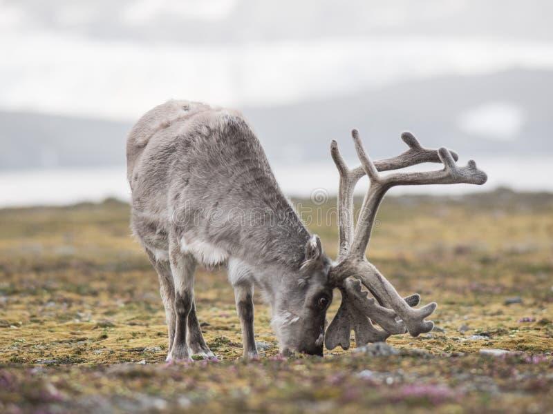 Renne arctique - le Svalbard photographie stock libre de droits