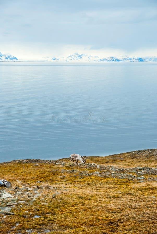 Renne dans l'Arctique, le Svalbard image stock