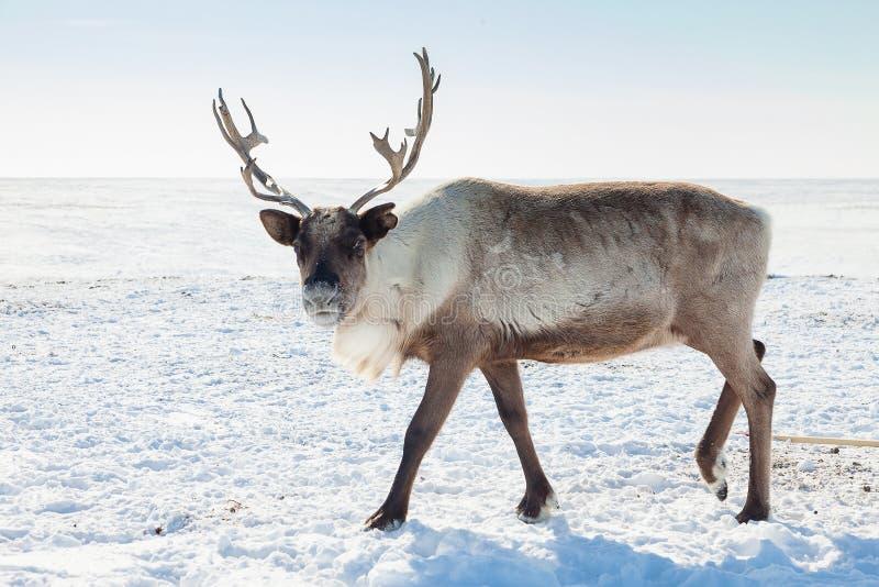 Renne dans la toundra d'hiver photographie stock