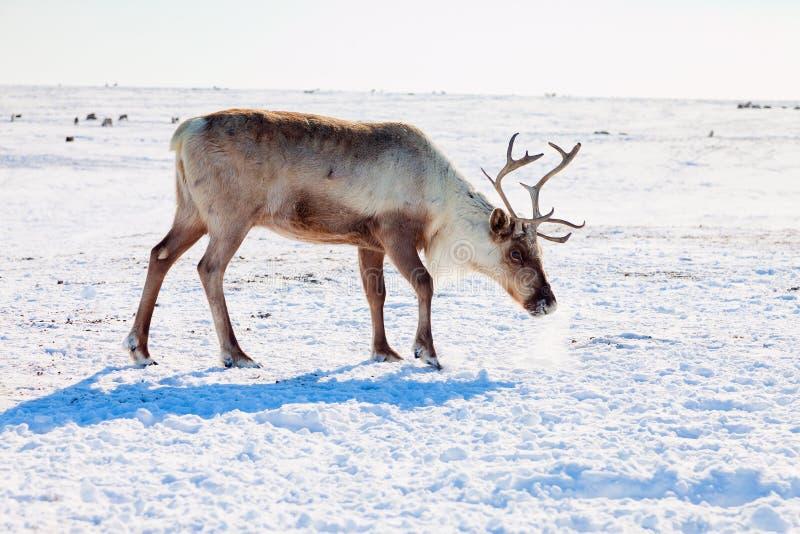 Renne dans la toundra d'hiver photographie stock libre de droits