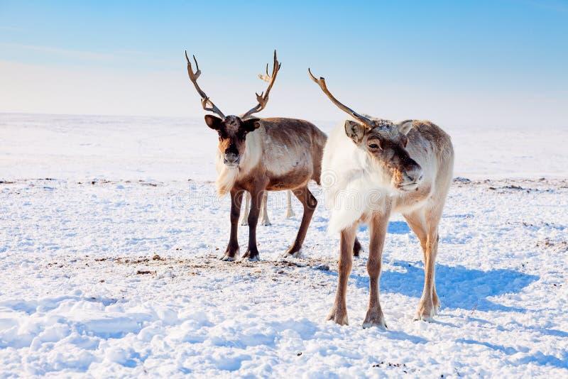 Renne dans la toundra d'hiver images libres de droits