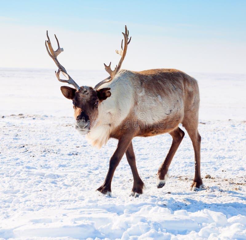 Renne dans la toundra d'hiver photos stock