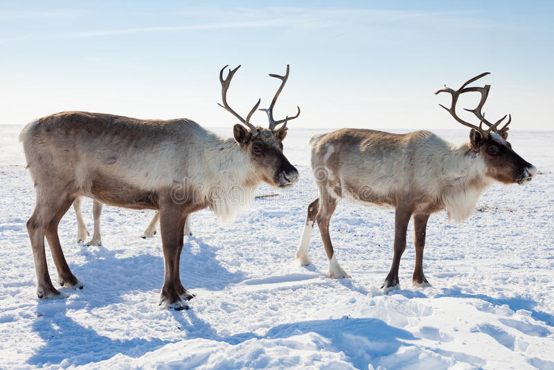 Renne dans la toundra d'hiver photo libre de droits