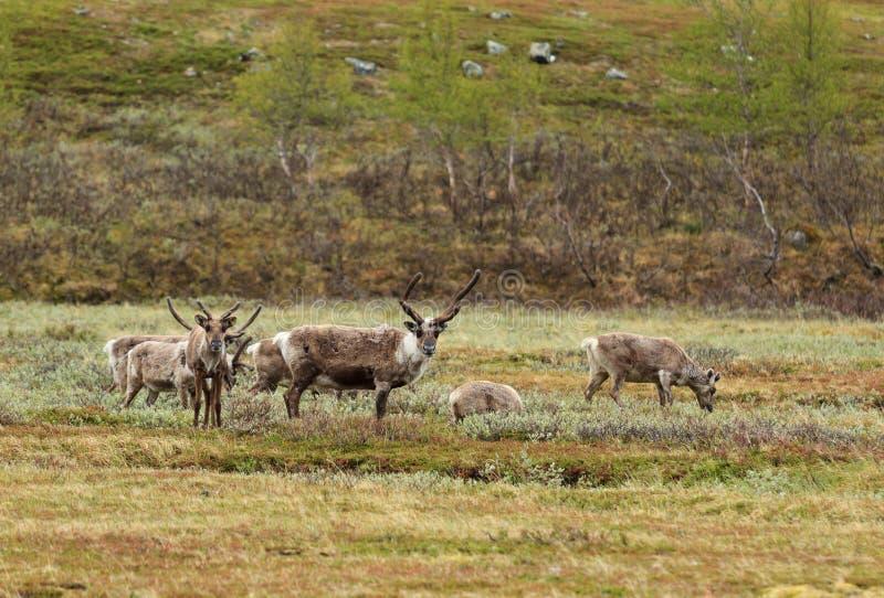 Renne de la Laponie photographie stock libre de droits