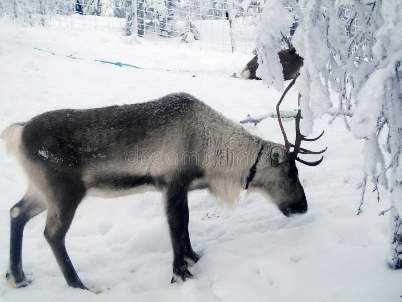 Renne de la Laponie en hiver images libres de droits
