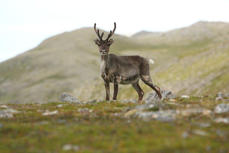 Renne en Norvège image libre de droits