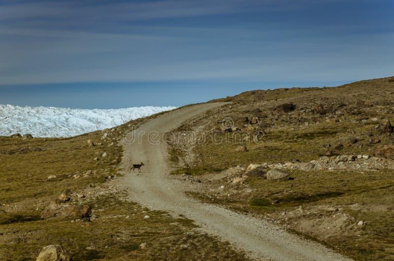 Renne fonctionnant à travers un chemin de terre près de la calotte glaciaire Greenlandic, point 660, Kangerlussuaq, Groenland photos libres de droits