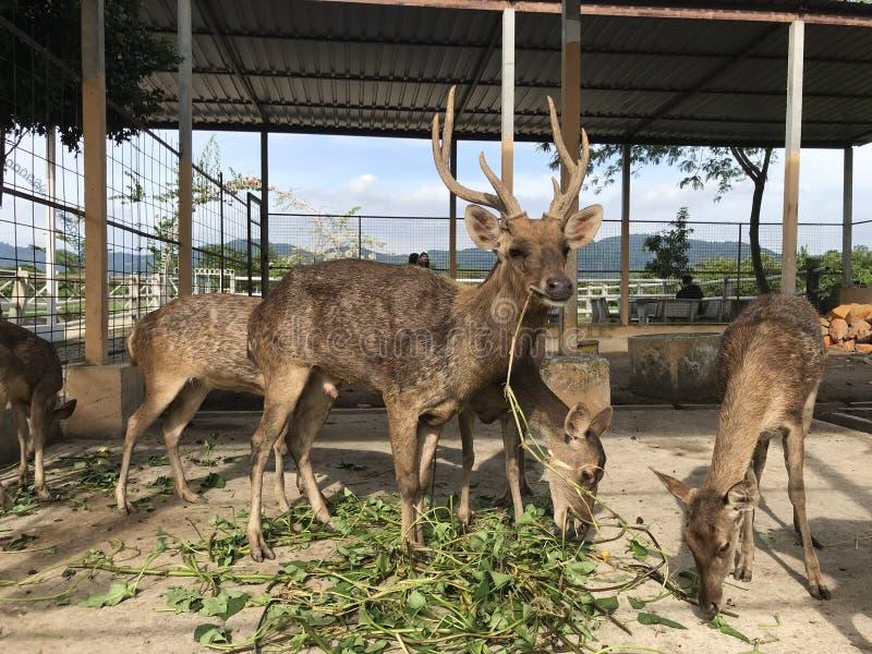 Renne prigioniere che mangiano nella recinzione immagini stock