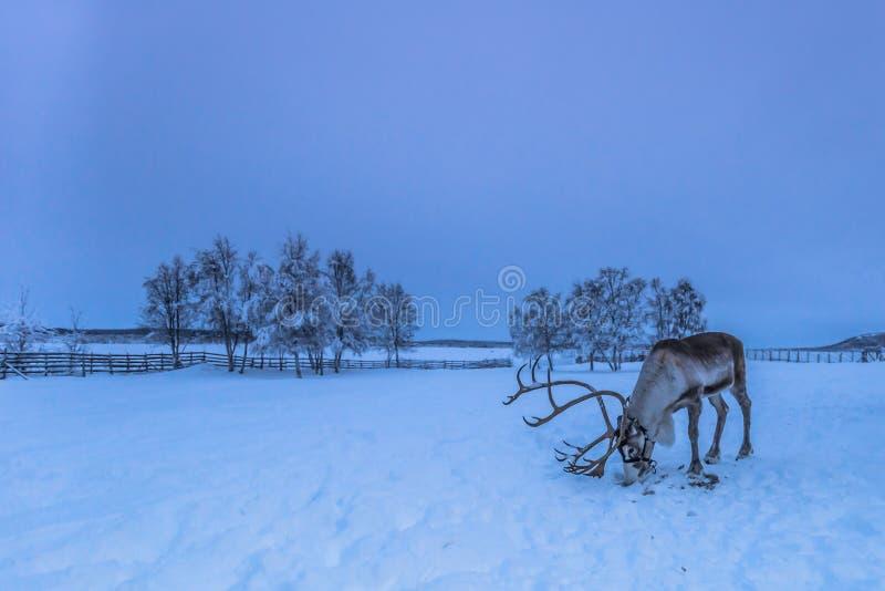 Renne solitaire dans Jukkasjarvi, Suède photographie stock libre de droits