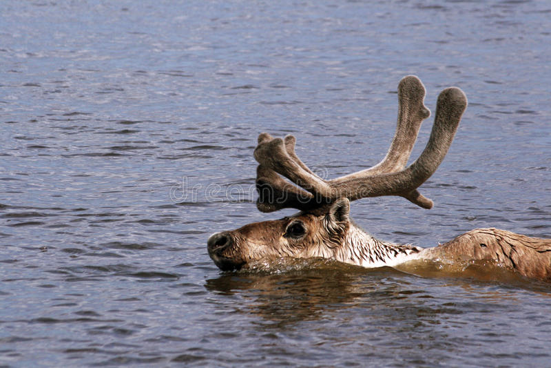Renne, Taimyr, Sibérie, Russie, caribou image stock