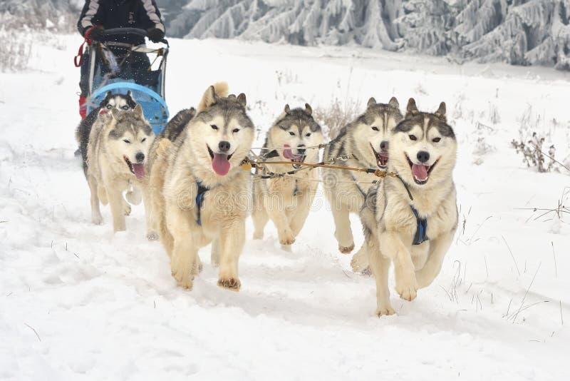 Rennen von Entwurfshunden auf Schnee lizenzfreies stockbild