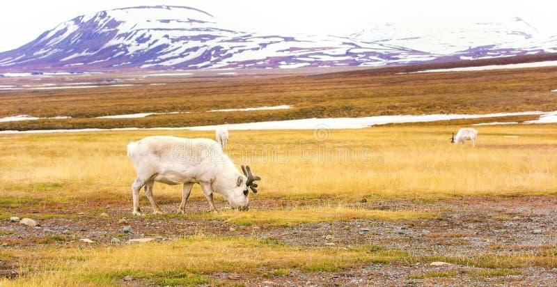 Rennes dans le paysage arctique du Svalbard photos libres de droits