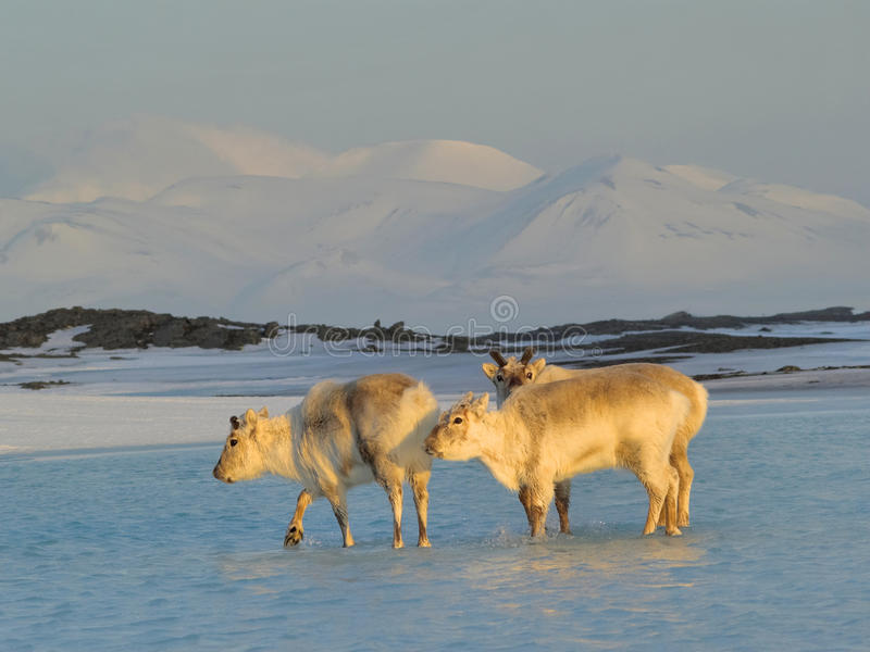 Rennes sauvages - Svalbard, arctique image stock
