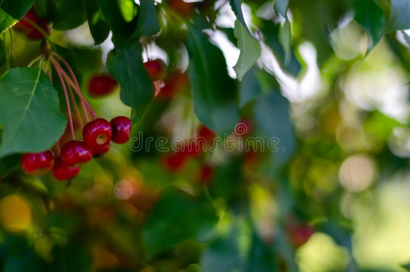 Rennet tree. red ripe apples on a branch Apple tree Small apple. Rennet tree. red ripe apples on a branch Apple tree royalty free stock photos
