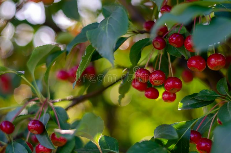 Rennet tree. red ripe apples on a branch Apple tree Small apple. Rennet tree. red ripe apples on a branch Apple tree stock photos