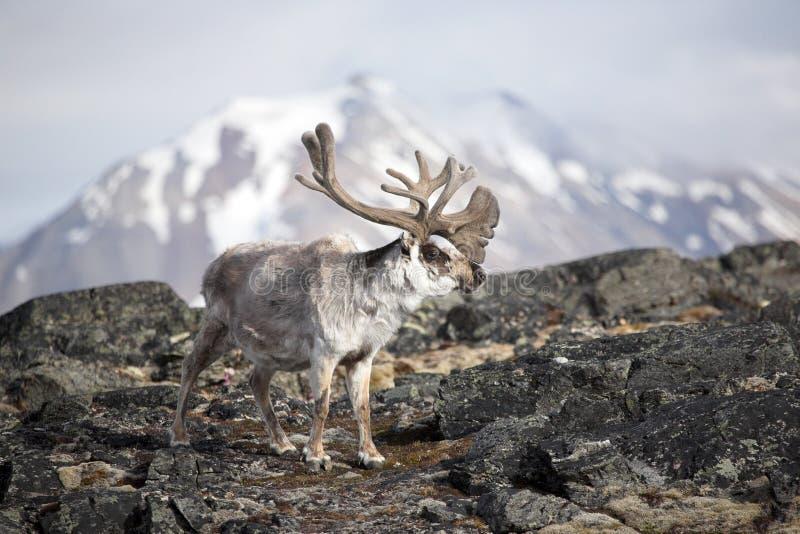 Reno ártico foto de archivo